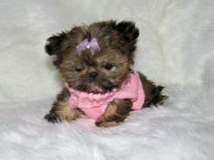 cheap teacup shih tzu puppies for sale shih tzu puppies small for sale cheap puppy for sale 163 1800 posted 4 months ago