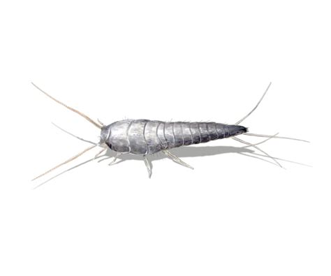 Silverfish In Bathtub 5 Facts About Silverfish You Should Know Debugged