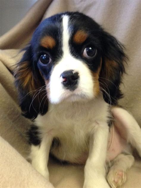 cavalier puppies for adoption cavalier king charles spaniel puppies for sale west pets4homes