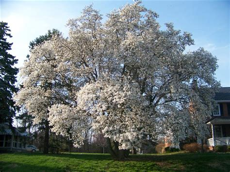 loebner magnolia tree facts loebner magnolia family name