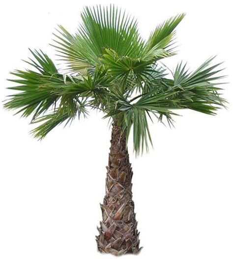 planting fan palm trees mexican fan palm giant skyscrapper plant grows huge uk