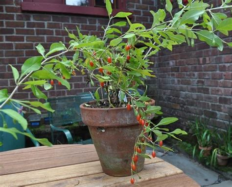 coltivare la bacca di goji frutteto coltivazione