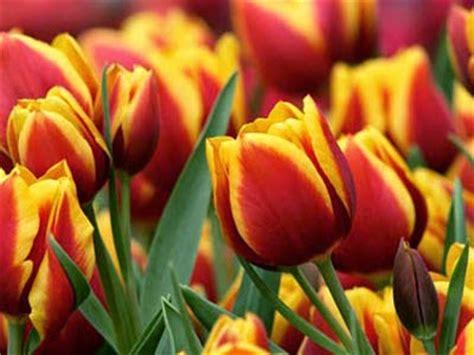 il fiore tulipano l albero delle mele il fiore dei sultani e simbolo dell