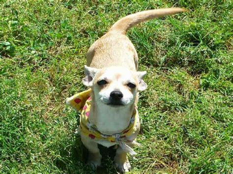 dogs for adoption houston these are the cutest small dogs available for adoption from barc of houston houston