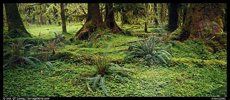 Forest Floor Rainforest by Panoramic Picture Photo Rainforest Forest Floor Olympic