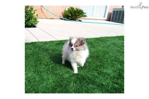 husky puppies for sale in san diego 17 best images about pomsky puppies for sale on puppys husky and pomsky