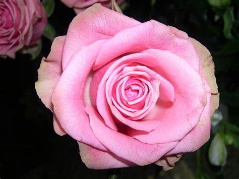 20 im 225 genes de rosas rojas hermosas para descargar gratis banco de imagenes gratis 8 fotos de rosas rojas amarillas