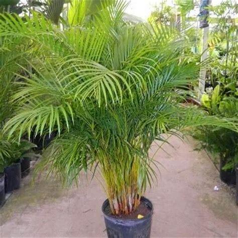 Pohon Pohonan Palm Palem 7cm palmeira areca bambu 2 metros coqueiro de jardim r 10