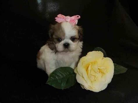 do shih tzu dogs shed does shih tzu shed hair 1001doggy