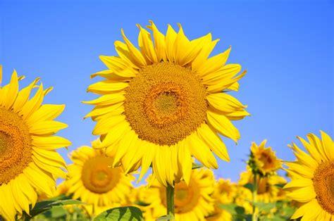 Obat Mata Kuning 115 manfaat dan khasiat bunga matahari kuning untuk