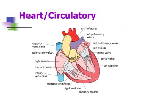 Ppt Circulatory System Powerpoint Presentation Id 4864650 Circulatory System Powerpoint