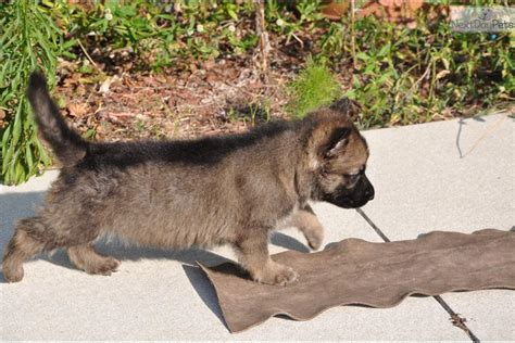 german shepherd puppies for sale florida german shepherd puppies for sale in south florida cats dogs and animal pictures