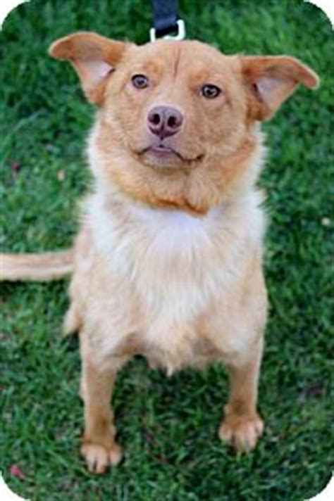 golden retriever pomeranian mix pomeranian golden retriever mix