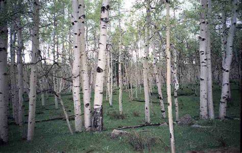 white tree uk benefits of birch tar soap the mod cabin grooming co