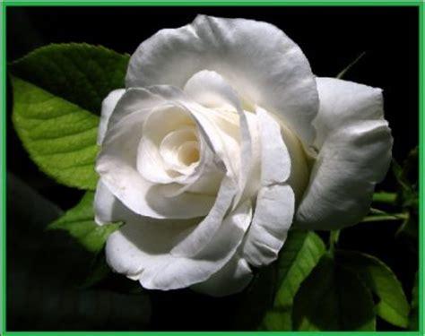 imagenes de rosas blancas bonitas imagenes de rosas mas hermosas del mundo para regalar
