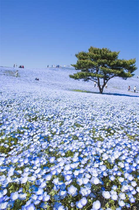 Baby Japan Blue quot baby blue quot nemophila hitachi seaside park in hitachinaka ibaraki japan beautiful