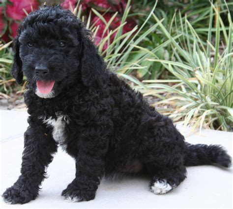 black goldendoodle puppies goldendoodle puppy colors by moss creek goldendoodles in florida