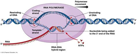 transcription diagram biol2060 gene expression transcription