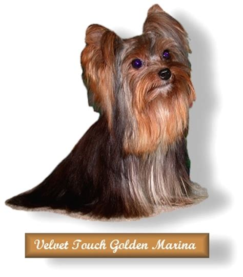 yorkie puppies for sale in alexandria la teacup yorkie puppies for sale