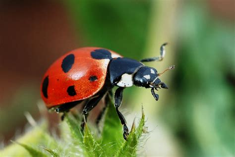 bed bug natural predators natural predators lady bugs hydroponics halifax steve s hydroponics