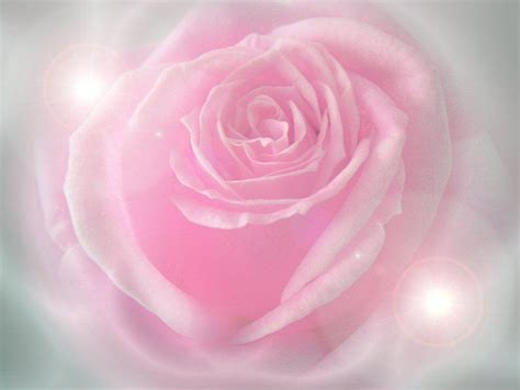 wallpapers red rose wallpapers pink rose wallpapers wallpaper cave