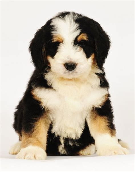 bernadoodle puppies bernedoodle puppy from swissridge kennels bernese mountain dogs and bernedoodles