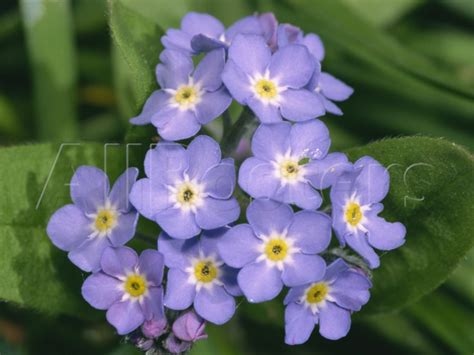 printable forget me not flowers 8 best images of get flowers for me not printable forget