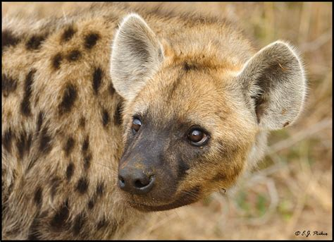is a hyena a this is a botswana spotted hyena from south africa thinglink