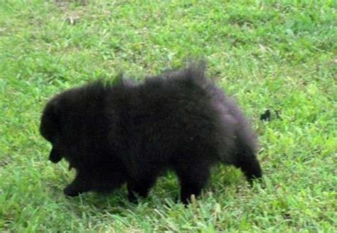 pomeranian for sale brisbane beautiful black pomeranian puppy for sale adoption from queensland brisbane