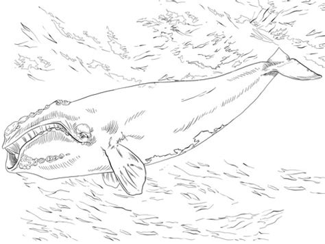 bowhead whale coloring page north atlantic right whale coloring page supercoloring com
