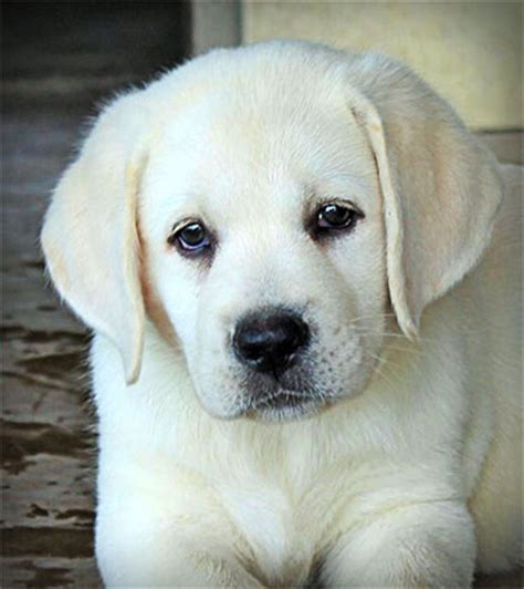 lab puppies dallas yellow lab puppies for sale in dallas