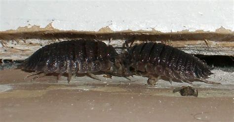 Woodlice Creepy Critters woodlouse religious ritual telcontar net