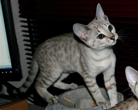 seal lynx point spotted snow bengal kitten by junglelure bengals of delilah seal silver lynx point snow bengal kitten flickr