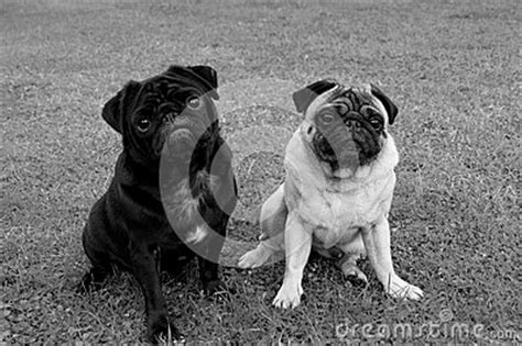 different colored pugs two pug dogs of different color royalty free stock photography image 35912787