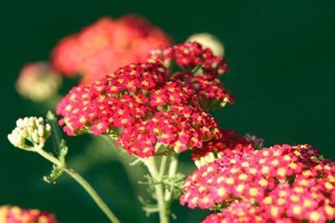 fiori da giardino perenni fiori da giardino perenni piante perenni giardino