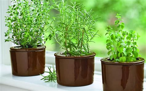 herbs  grow   indoor  urban gardening