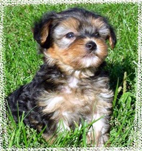 are yorkie poos hypoallergenic 17 best ideas about hypoallergenic puppies on samoyed puppies samoyed