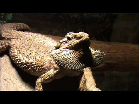 how often do bearded dragons go to the bathroom bearded dragon puffing out her beard youtube