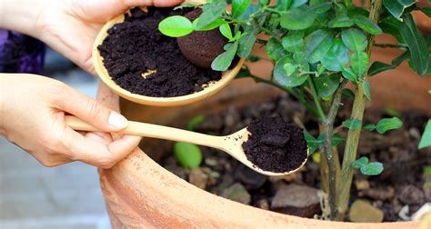 Coffee Grounds For Gardening by Used Coffee Grounds Try These 10 Clever Uses Farmers