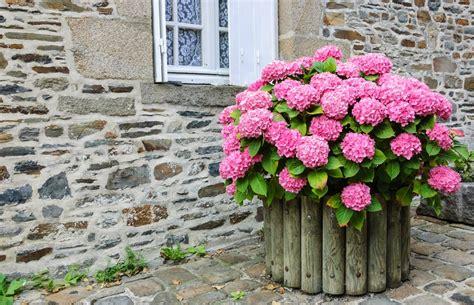 ortensie in vaso come coltivare ortensia non sprecare