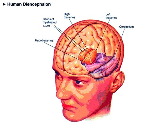 diagram of diencephalon diencephalon
