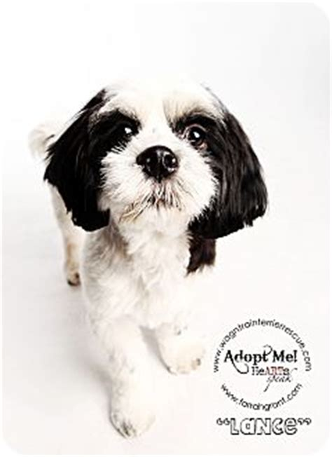 shih tzu puppies omaha lance pending adoption adopted omaha ne cocker spaniel shih tzu mix