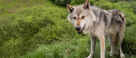 of a wolf rescue and conservation of displaced wolves wolf uk