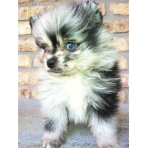 what colors do pomeranians come in pomeranian breeders in the usa and canada freedoglistings page 6