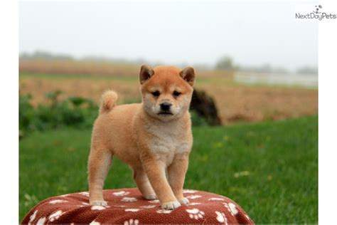 shiba inu puppies for sale near me shiba inu puppy for sale near lancaster pennsylvania d0e3a823 6f81