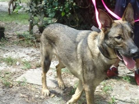 german shepherd rescue florida 51 best dogs i am looking for adoption dogs to be trained dieabetes service dogs