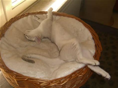 katze zuckt beim schlafen tolle infos 252 ber burmilla katzen