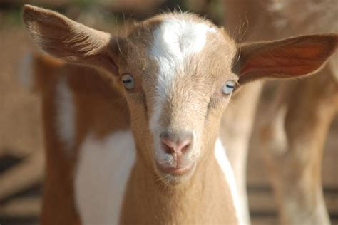 backyard herds twitterer explains cool factoid about goat eyes with cute illustration blows internet