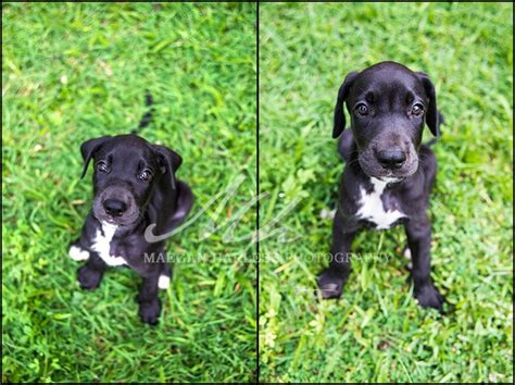 labradane puppy karma my great labradane puppy at 7 weeks my photography