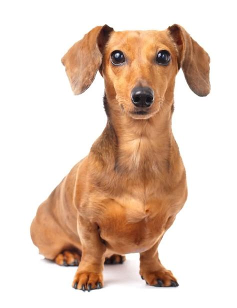fabulous brown dachshund dog for wallpaper picsmine
